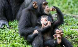 Chimps in Uganda