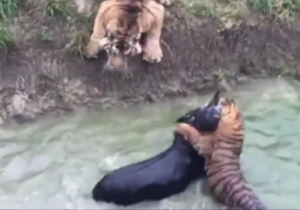 chinese zoo fed live donkey to tigers- India Tv