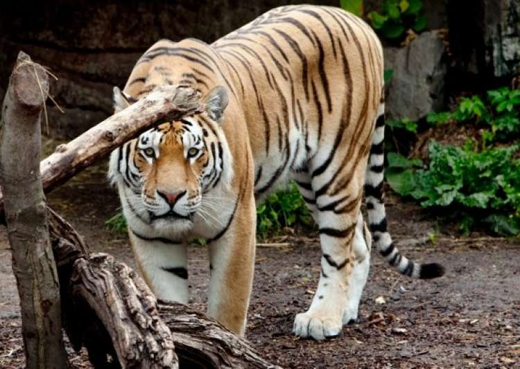 Tiger breaks free in MP zoo- India Tv