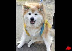world s oldest dog dies in japan at age 26