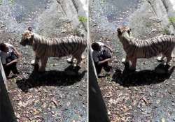 youth mauled to death by white tiger at delhi zoo