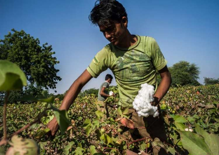 cotton crop estimated at 381 lakh bales for 2013 14- India Tv