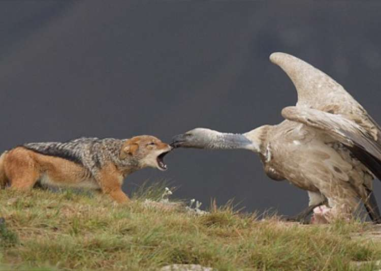 Vulture Bites Jackal's Nose In South Africa