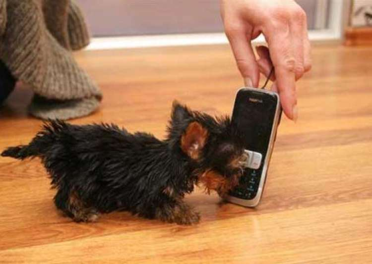 world s smallest dog smaller than a cellphone- India Tv