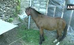 horse home quarantine, horse put under home quarantine, kashmir to rajouri, horse coronavirus, horse