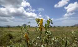 Hungry Locust Swarm attack Maharashtra's orange orchards; Nagpur, Wardha report heavy damage