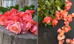 Vastu Tips: Using rose petals in place of room freshener brings positive energy