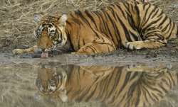 MP loses 26 tigers in 2020; govt says birth rate more than deaths