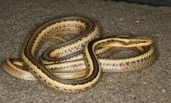 Fifty snakes, house, snake scare, Uttar Pradesh, Fatehpur, baby snakes, snake charmer, forest, villa
