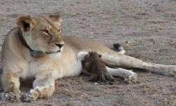 Lioness, tests COVID positive, Sri Lanka zoo, coronavirus pandemic, COVID latest news updates, secon