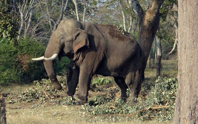 Ex-BSF jawan trampled to death by elephants |